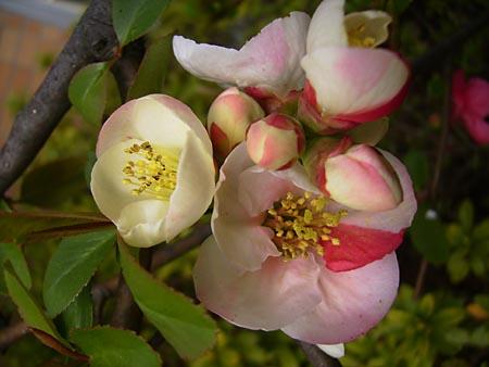 ボケの花2010年.jpg