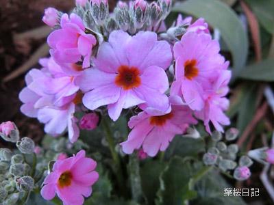 ピンクの花1.jpg